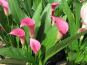 pink Arum lily Herbaceous Plant