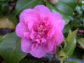 pink Camellia Tree