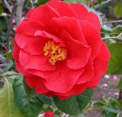 red Camellia Tree