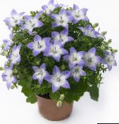light blue Campanula, Bellflower Hanging Plant