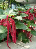 red Cat Tail, Chenille Plant, Red Hot Cattail, Foxtail, Red Hot Poker Shrub