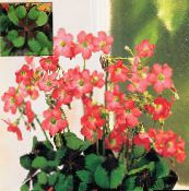 red Oxalis Herbaceous Plant