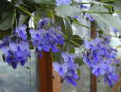light blue Clerodendron Shrub