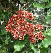 vermelho Red Leea, West Indian Holly, Hawaiian Holly Arbusto