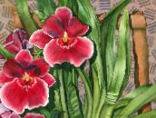 red Miltonia Herbaceous Plant