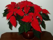 red Poinsettia Herbaceous Plant