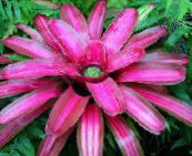 pink Bromeliad Herbaceous Plant