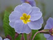 light blue Primula, Auricula Herbaceous Plant